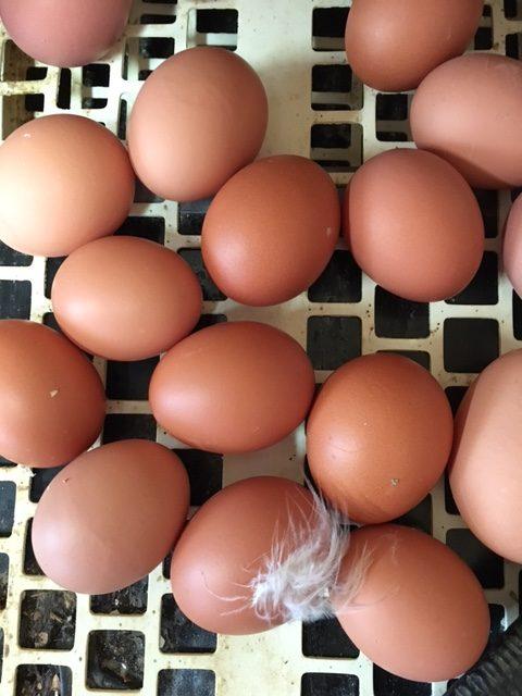 VEJ barn eggs